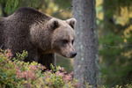 Brown Bear #6