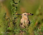 Här är en härfågel