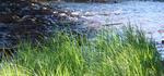 Gräset vid ån