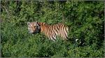 Tiger_080608