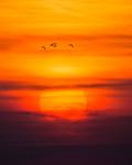 Tranor mot solnedgång.