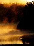 Häger i guldvatten