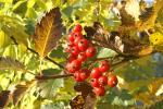 Röda bär om hösten