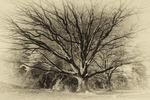 Mighty old oak