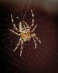 Spindel i nätet