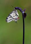 Makaonfjäril