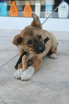 Apotekarens hund