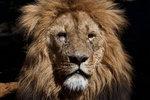 Lejonhane i morgonfrisyr