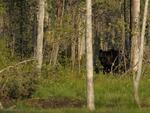 Brun björn / Brown Bear
