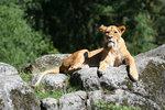 Solande lejon