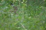 Hare försöker gömma sig