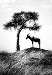 På en kulle i Masai Mara