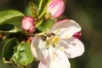Myra i blomma