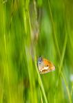 Pärlgräsfjäril