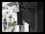 Fågel blå? Nää fågel gul!