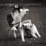 Husky Action