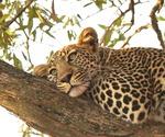Avslappnad Leopard