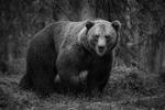 Den finska björnen
