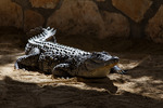 Nile Crocodile (Crocodilus niloticus)