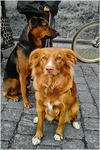Poserande hundar