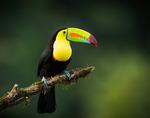 Keel-billed Toucan Costa Rica 20140116-8695.jpg