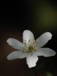 Vit blomma i skugga
