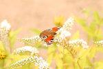 Påfågelfjäril på vit blomma