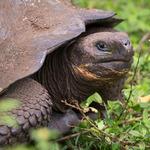 Galapagos Giant Tortoise Nigita