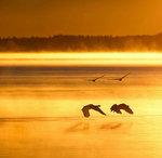 Fyra svanar