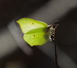 Äggläggande Citronfjäril i träd