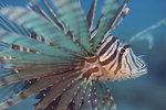 """Vanlig lejonfisk (Pterois volitans), ofta kallad """"Drakfisk""""."""