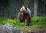 Björnhonan....