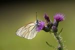 Hagtornsfjäril med monomottagning