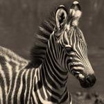 Zebraföl -
