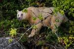Andebjörn (Kermode bear/Spirit Bear)