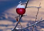 Vinteräpple i motljus