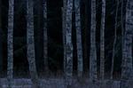 Vinterbjörkar
