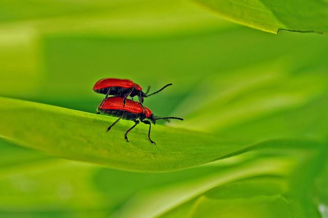 Kardinalbaggar-2008