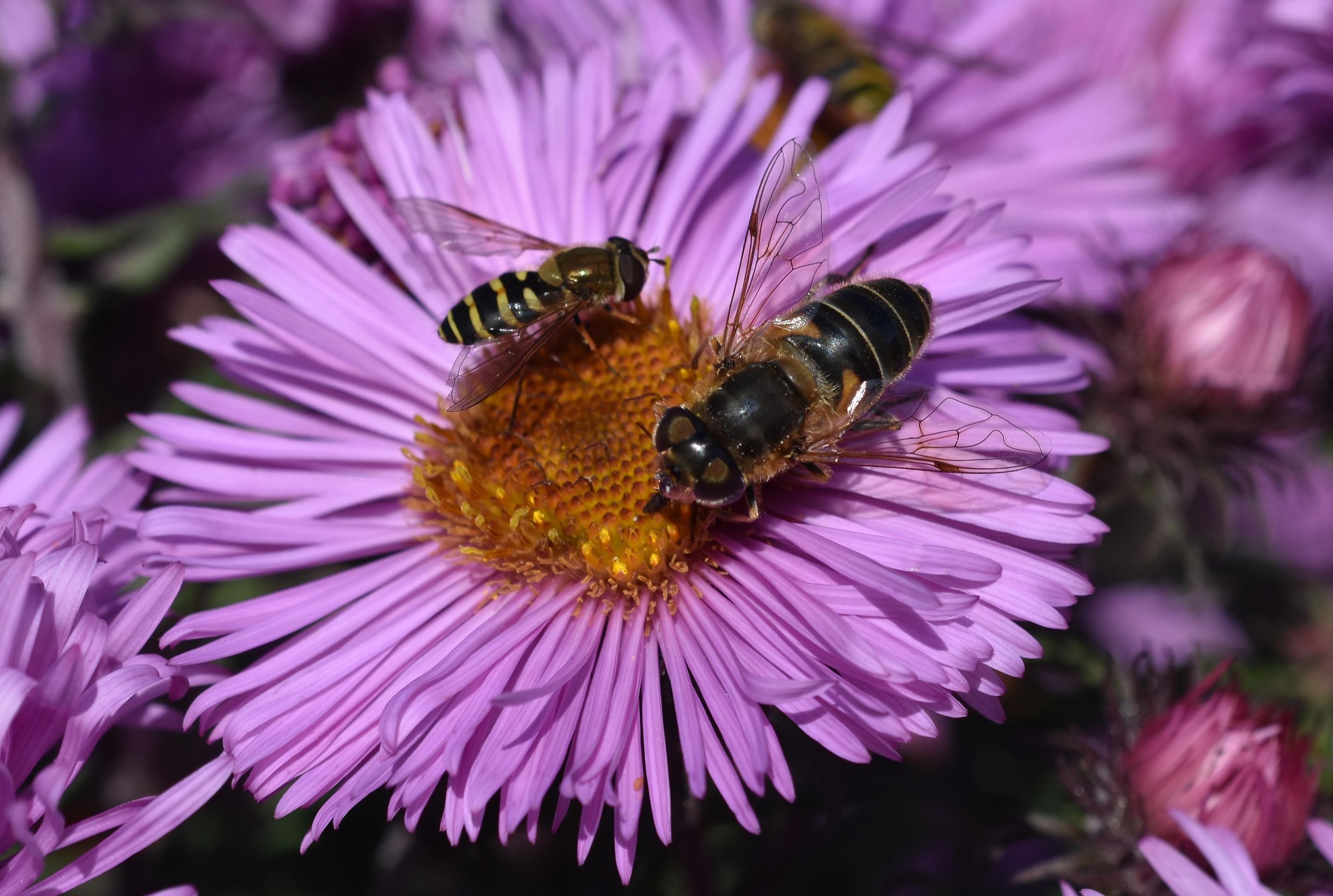 Blomflugor på en Höstaster 2016 DSC_0356