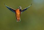 Isfugl på vingerne..