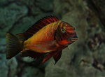 "Tropheus sp. ""red"", Ndole"