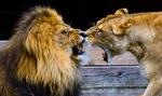 Lejon i Borås djurpark