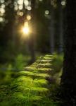 Sol i skogen