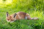 Solande räv
