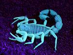 Skorpion i ultraviolett