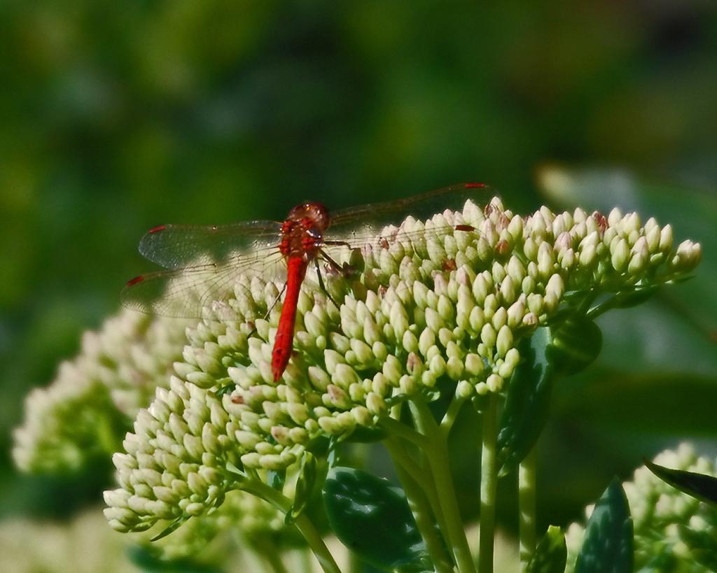 En-liten-Blodröd ängstrollslända-i-trädgården-2008
