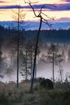 Björn i dimma