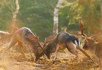 Fight om hindar