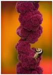 Amaranthus Caudatus..