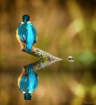 """Kingfisher - """"Looking the other way"""""""